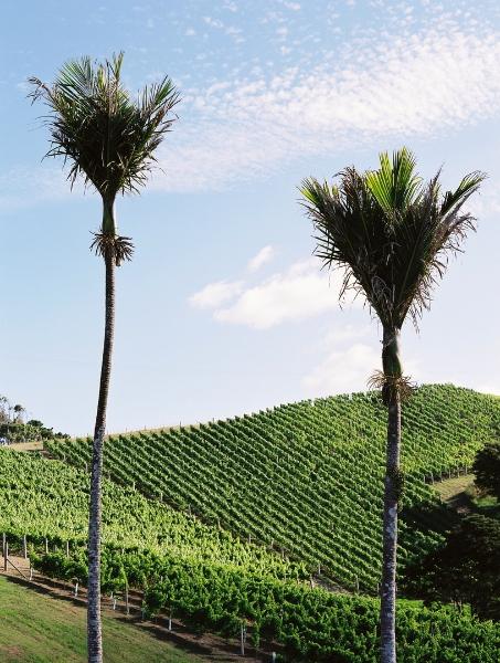 Destiny Bay Nikau palms