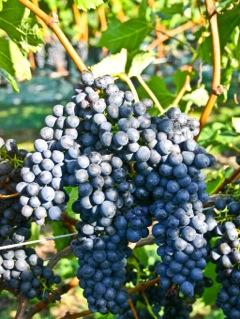 Syrah Grape bunches