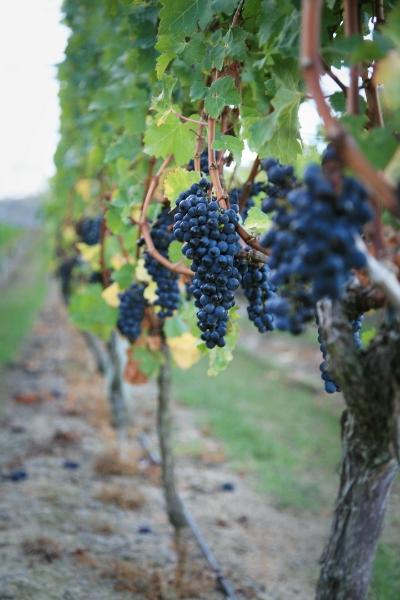 Cabernet Grape bunches