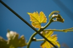 Vines flowering
