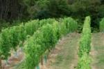 Cabernet Franc vines