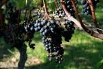 Malbec Grape bunches